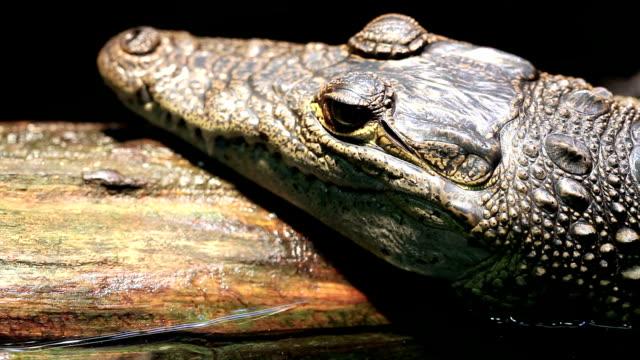 vídeos de stock, filmes e b-roll de close-up da cabeça de crocodilo - zoologia