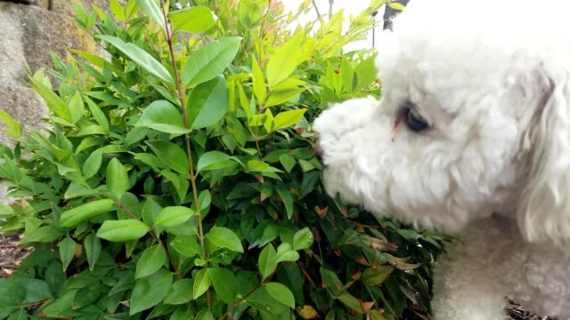 closeup of cute bichon frise dog sniffing a bush outdoors on a red leash july 25 2019 - bichon frise stock videos and b-roll footage
