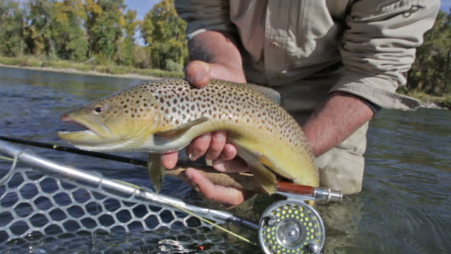close-up of cutthroat trout caught while fly fishing - trout stock videos and b-roll footage