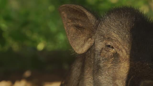 vídeos y material grabado en eventos de stock de close-up of dark colored pig in pen - bali - oreja animal
