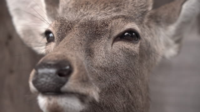 closeup of deer - hirsch stock-videos und b-roll-filmmaterial