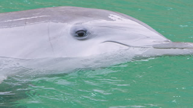 close-up of dolphin's head in water, slow motion - bottle nosed dolphin stock videos & royalty-free footage