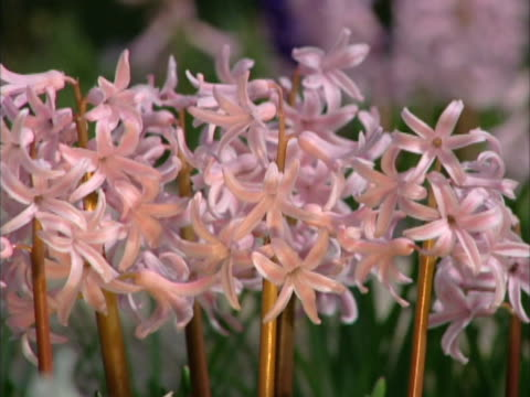 Close-up of dozens of delicate pale pink flowers.