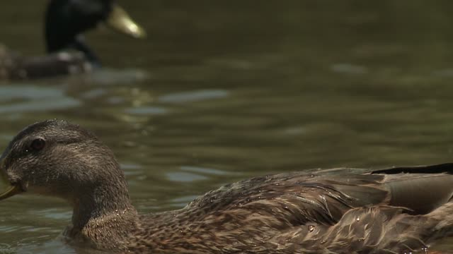 kswb closeup of ducks in pond - duck stock videos & royalty-free footage