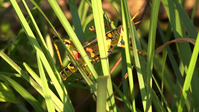 close-up of eastern lubber grasshopper crawling through grass in everglades national park, florida - everglades national park stock videos & royalty-free footage