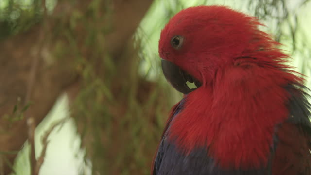 close-up of eclectus parrot preening its feathers - preening animal behavior stock videos & royalty-free footage