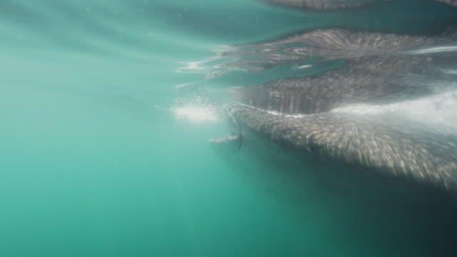 closeup of feeding whale shark - james whale stock-videos und b-roll-filmmaterial