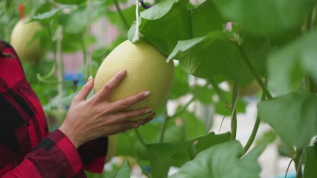 Close-up of female examining the muskmelon in the farm