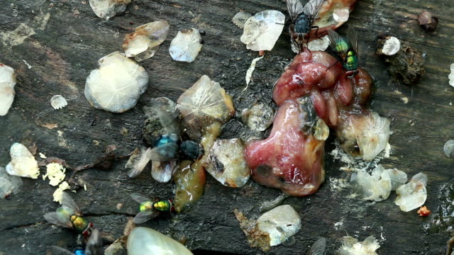 close-up of flies crawling on the rotten guts - sucking stock videos & royalty-free footage