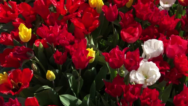 close-up of flower bed with color tulips in garden - large group of objects stock videos & royalty-free footage