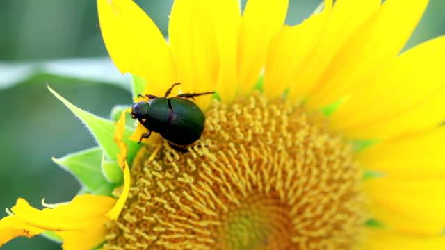 vídeos y material grabado en eventos de stock de hd: primer plano de la flor chafer beetles comer girasol (vídeo) - escarabajo de cuerno largo