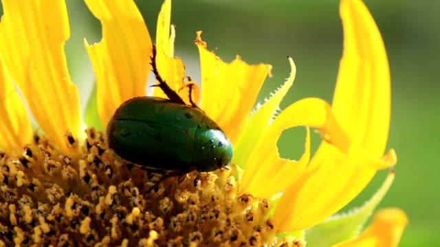 vídeos y material grabado en eventos de stock de hd: dos camas dobles primer plano de la flor chafer beetles comer girasol (vídeo) - escarabajo de cuerno largo