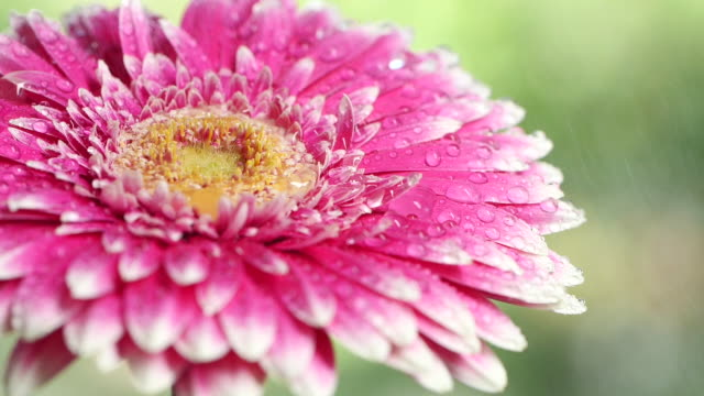 close-up of flower with water drops - daisy stock videos & royalty-free footage