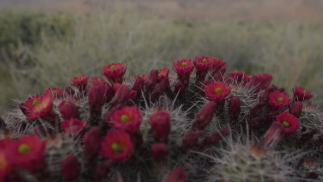 closeup of flowers and cactus - cactus stock videos & royalty-free footage