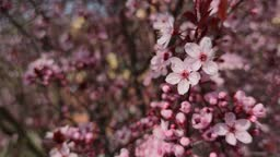 Close-up of flowers from an almond tree during flowering in late winter and early spring