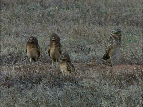 vídeos y material grabado en eventos de stock de close-up of four owls in a field - grupo pequeño de animales