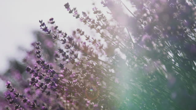 close-up of fresh lavender flowers on field - rack focus stock videos & royalty-free footage