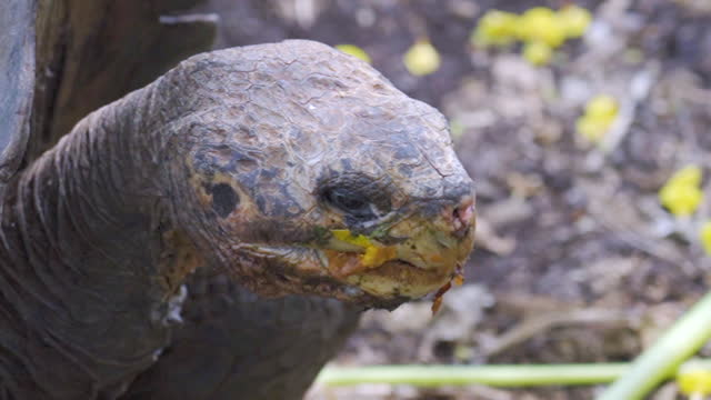 closeup of galapagos tortoise eating plants in leafy area on sunny day - galapagos islands, ecuador - south pacific ocean stock videos & royalty-free footage