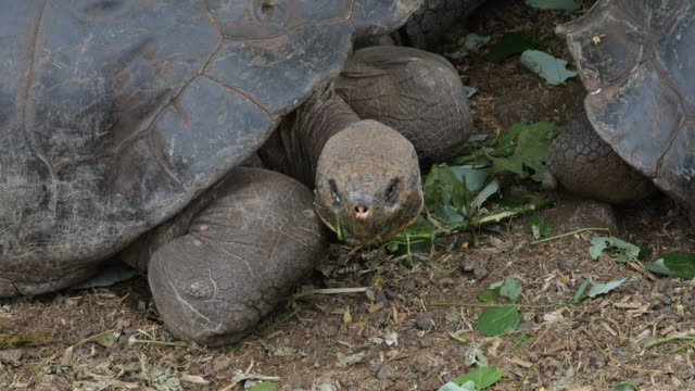 Close-up of Galápagos tortoises sitting under green bushes eating leaves, Santa Cruz, Galápagos, Ecuador