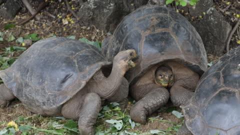 close-up of galã¡pagos tortoises sitting under green bushes eating leaves, santa cruz, galã¡pagos, ecuador - landschildkröte stock-videos und b-roll-filmmaterial