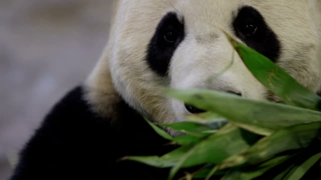 closeup of giant panda - bamboo plant stock videos & royalty-free footage