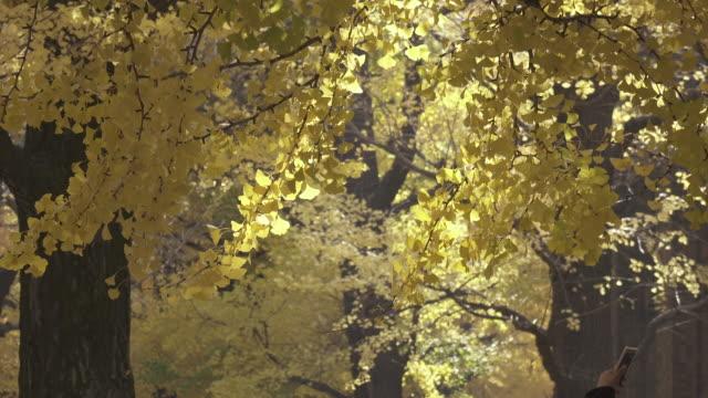 4k: close-up der ginkgo-bäume - ginkgobaum stock-videos und b-roll-filmmaterial