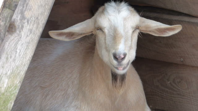 Closeup of Goat Chewing and Twitching