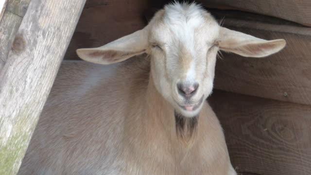vídeos de stock e filmes b-roll de plano aproximado de cabra mastigar e espasmos - mastigar