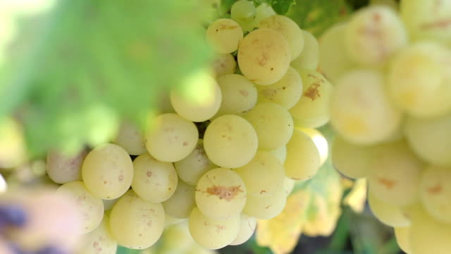 close-up of grape plantation - grape leaf stock videos and b-roll footage