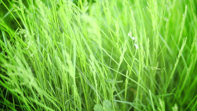 Close-up of grass blowing in the wind