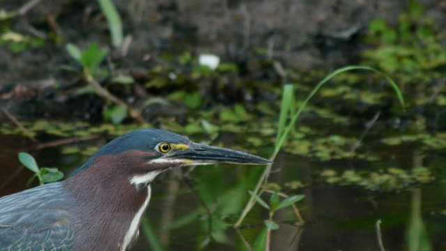 Closeup of Green Heron in swamp, Caddo Lake, on the Texas/Louisiana border