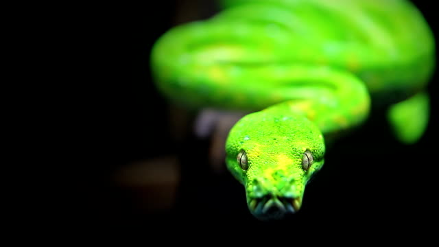 Close-up of Green snake on black background