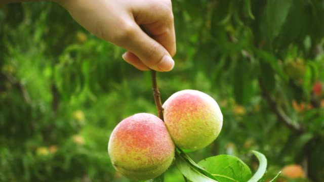 close-up of hand holds a bunch of peach fruits. - peach stock videos & royalty-free footage