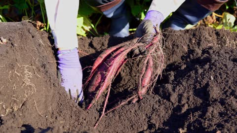 close-up of hands at sweet potato field. agriculture themes. - sweet potato stock videos & royalty-free footage