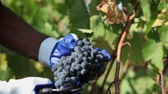 vidéos et rushes de close-up of hands harvesting grapes in vineyard - raisin