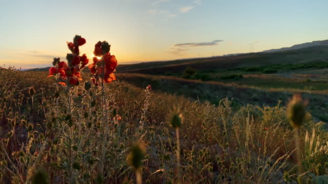 close-up of indian paintbrush flowers and grasses swaying gently in the high desert at sunset - beauty in nature stock videos & royalty-free footage