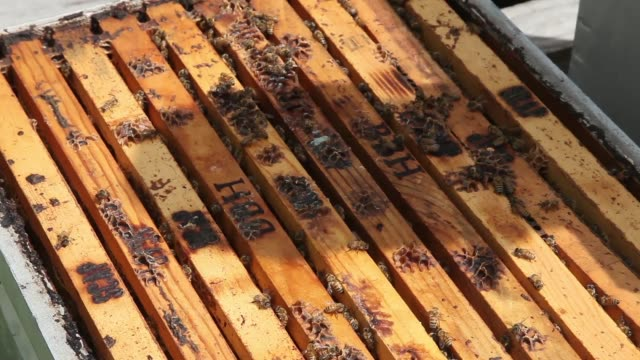 closeup of infested bee apiary stve corniffe explains the difference between a healthy and a infested apiary honeybees endangered as colony collapse... - infestation stock-videos und b-roll-filmmaterial