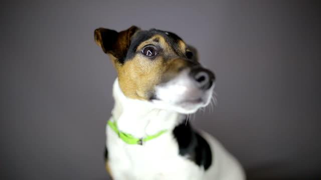 vidéos et rushes de gros plan du jack russell terrier, cliché en studio - terrier jack russell