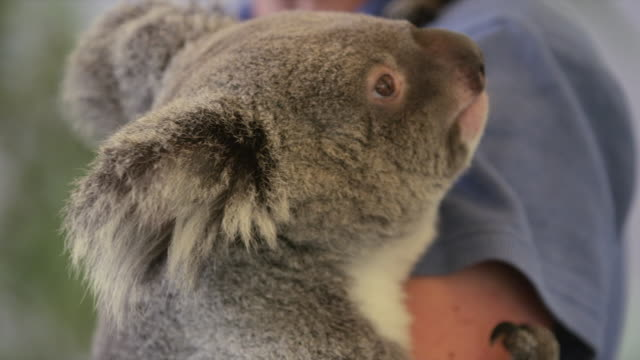 Close-up of koala being held by person