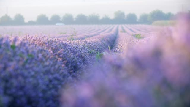 close-up of lavender fields. - bulgaria stock videos & royalty-free footage