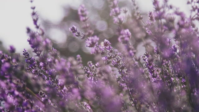 vídeos de stock e filmes b-roll de close-up of lavender flowers blooming in farm - ao ar livre