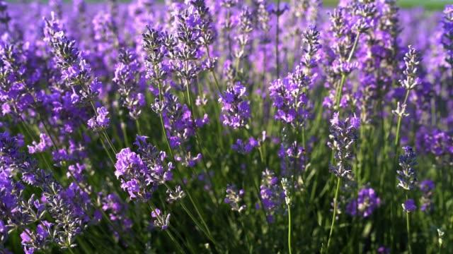 農場で咲くラベンダーの花のクローズアップ - 植物 ラベンダー点の映像素材/bロール