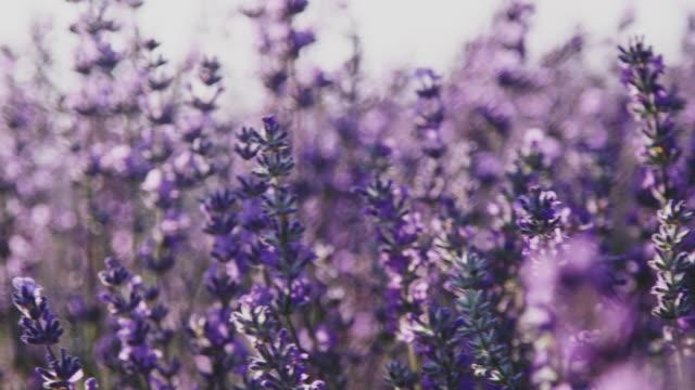 畑に育つラベンダーの花のクローズアップ - 植物 ラベンダー点の映像素材/bロール