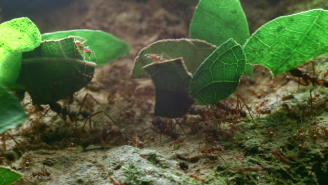 Close-up of leaf cutter ants (Atta sp.) carrying leaves to their nest