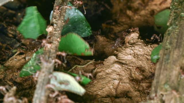 vídeos de stock e filmes b-roll de close-up of leaf cutter ants (atta sp.) carrying leaves to their nest - saúva da mata
