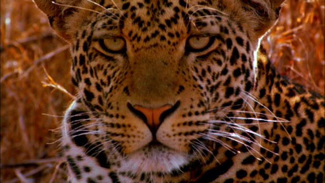 closeup of leopard's face. - animal eye stock videos & royalty-free footage