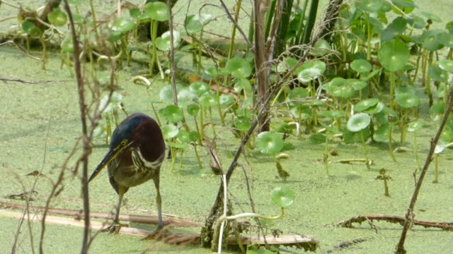 closeup of  little heron catching a shrimp - water bird stock videos & royalty-free footage