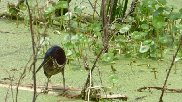 nahaufnahme von kleinen heron fangen ein garnelen - water bird stock-videos und b-roll-filmmaterial
