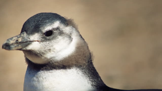 close-up of magellanic penguin flapping his wings - provinz chubut stock-videos und b-roll-filmmaterial