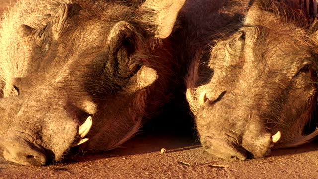 close-up of male and female warthog sleeping next to each other - herbivorous stock videos & royalty-free footage